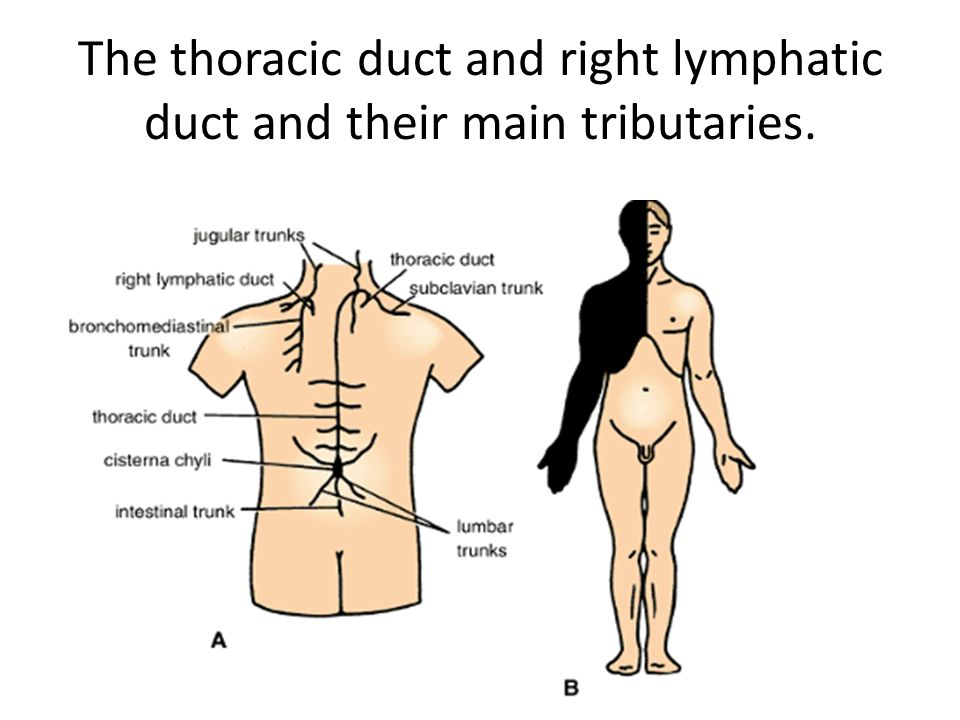 The thoracic duct and right lymphatic duct and their main tributaries.