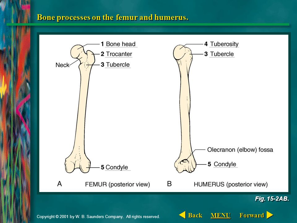 Copyright © 2001 by W. B. Saunders Company. All rights reserved. Bone processes on the femur and humerus. Fig. 15-2AB. Forward Back MENU