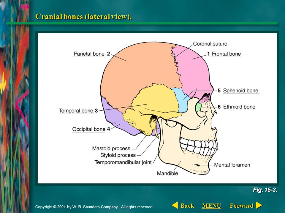 Copyright © 2001 by W. B. Saunders Company. All rights reserved. Cranial bones (lateral view). Fig. 15-3. Forward Back MENU