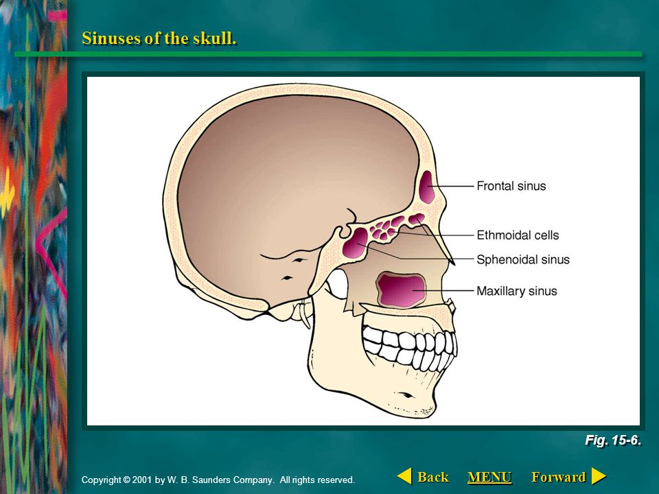 Copyright © 2001 by W. B. Saunders Company. All rights reserved. Sinuses of the skull. Fig. 15-6. Forward Back MENU