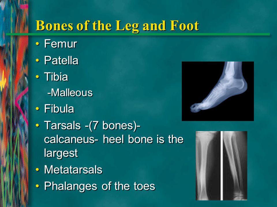 Bones of the Leg and Foot Femur Patella Tibia -Malleous Fibula Tarsals -(7 bones)- calcaneus- heel bone is the largest Metatarsals Phalanges of the to