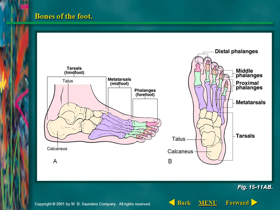 Copyright © 2001 by W. B. Saunders Company. All rights reserved. Bones of the foot. Fig. 15-11AB. AB Forward Back MENU