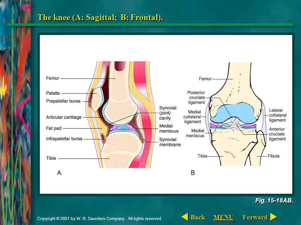 Copyright © 2001 by W. B. Saunders Company. All rights reserved. The knee (A: Sagittal; B: Frontal). Fig. 15-18AB. AB Forward Back MENU
