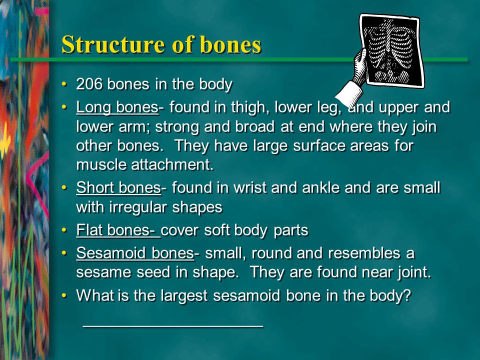 Structure of bones 206 bones in the body Long bones- found in thigh, lower leg, and upper and lower arm; strong and broad at end where they join other