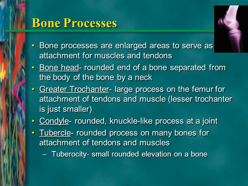 Bone Processes Bone processes are enlarged areas to serve as attachment for muscles and tendons Bone head- rounded end of a bone separated from the bo