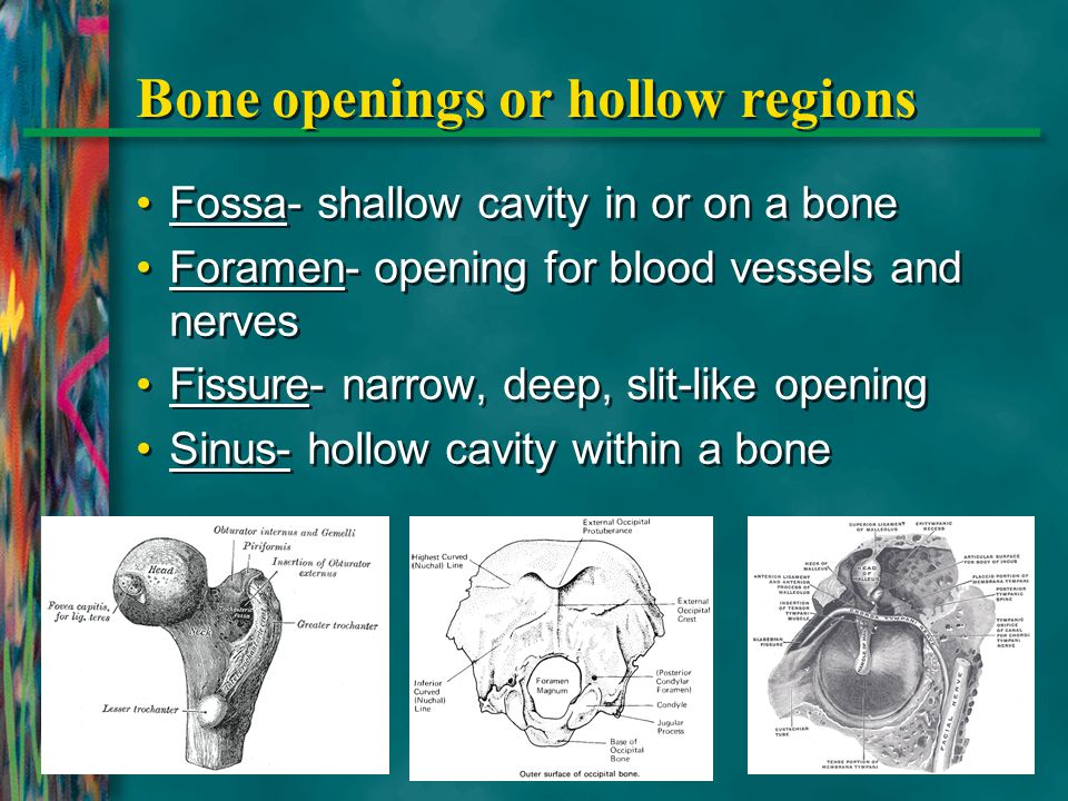 Bone openings or hollow regions Fossa- shallow cavity in or on a bone Foramen- opening for blood vessels and nerves Fissure- narrow, deep, slit-like o
