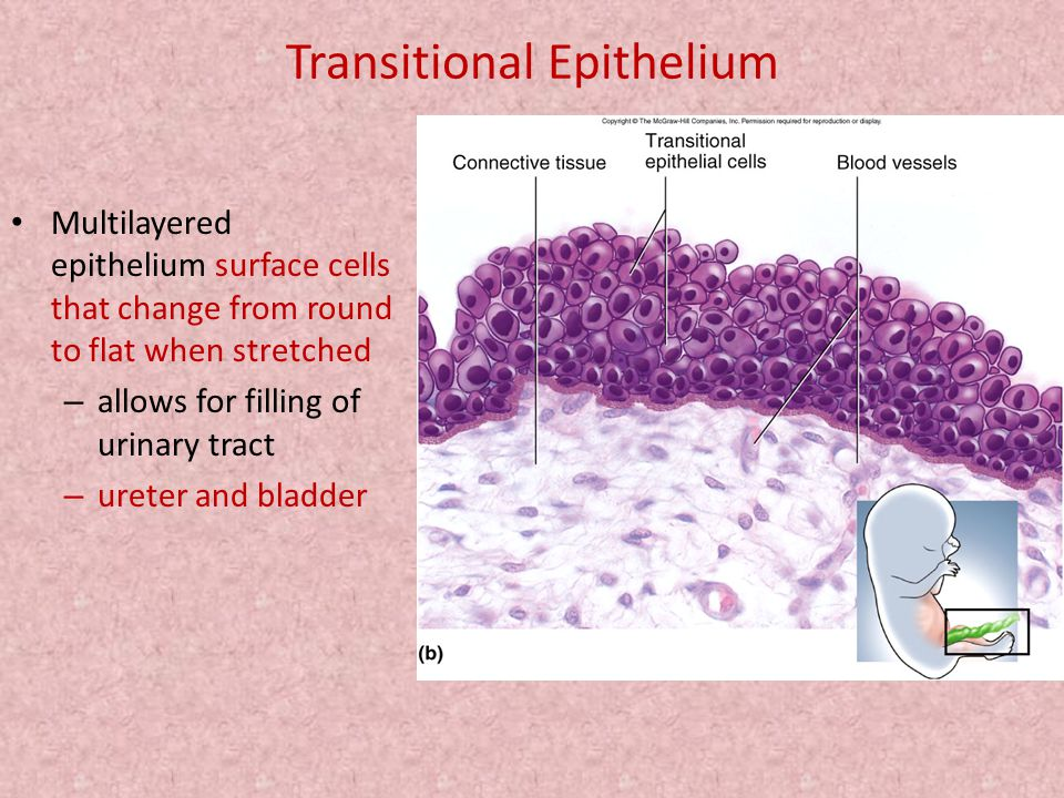 Transitional Epithelium Multilayered epithelium surface cells that change from round to flat when stretched – allows for filling of urinary tract – ur