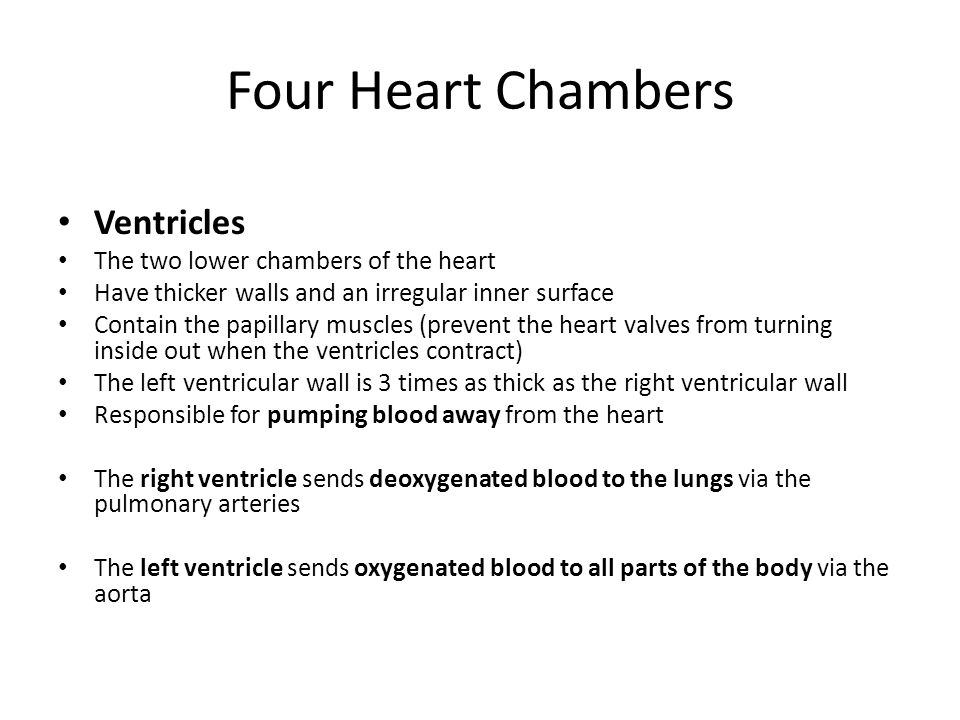 Four Heart Chambers Ventricles The two lower chambers of the heart Have thicker walls and an irregular inner surface Contain the papillary muscles (prevent the heart valves from turning inside out when the ventricles contract) The left ventricular wall is 3 times as thick as the right ventricular wall Responsible for pumping blood away from the heart The right ventricle sends deoxygenated blood to the lungs via the pulmonary arteries The left ventricle sends oxygenated blood to all parts of the body via the aorta