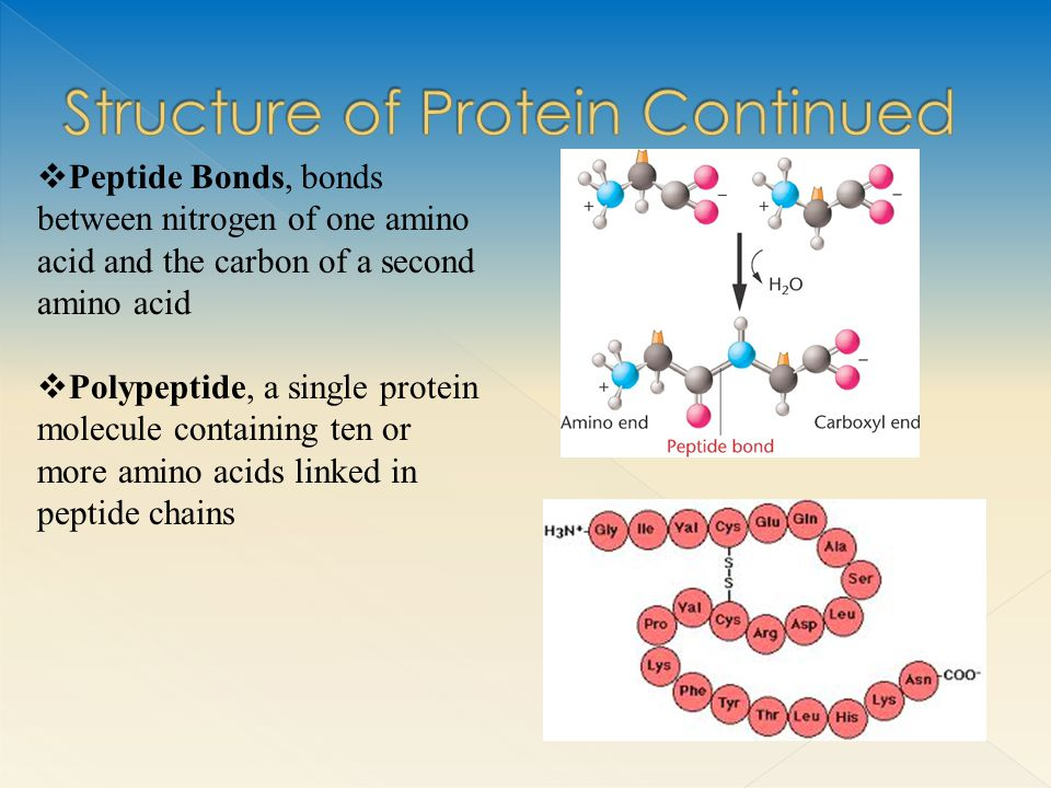  Peptide Bonds, bonds between nitrogen of one amino acid and the carbon of a second amino acid  Polypeptide, a single protein molecule containing ten or more amino acids linked in peptide chains