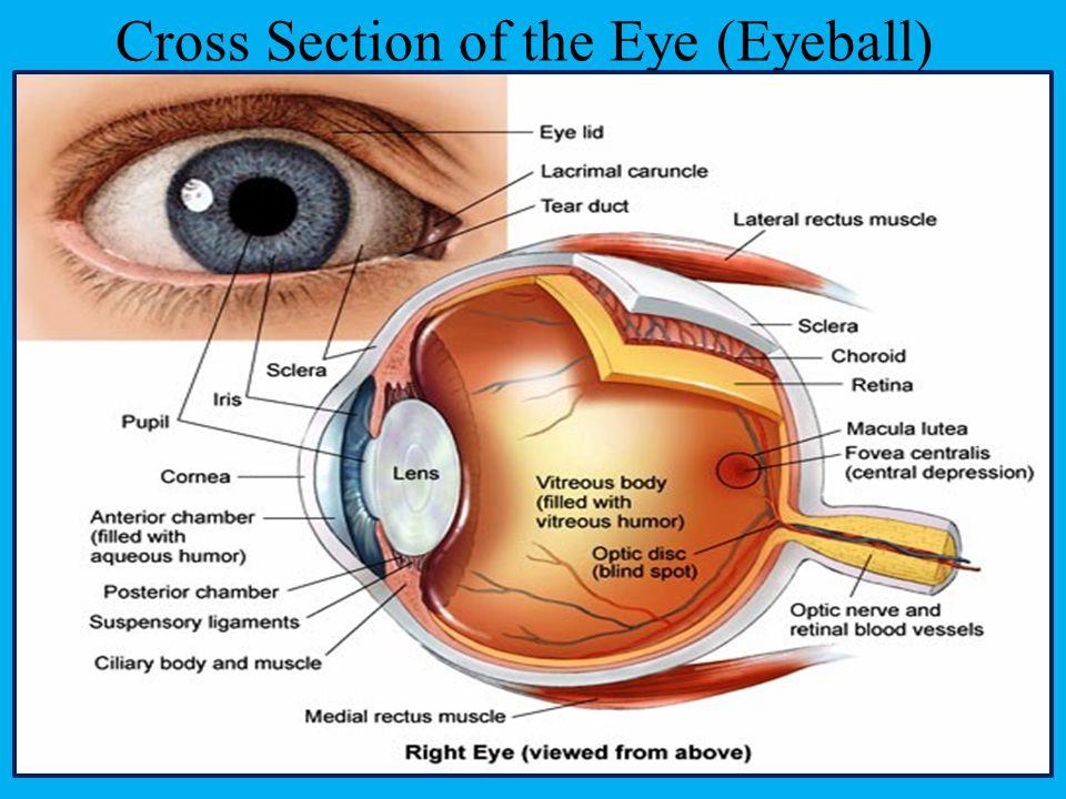 Cross Section of the Eye (Eyeball)