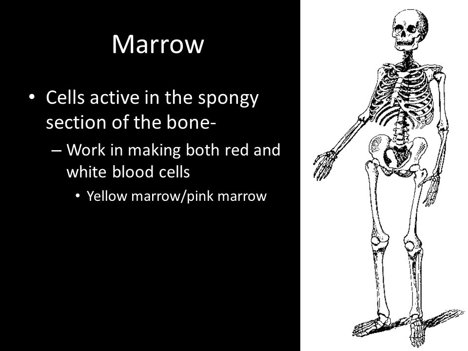 Marrow Cells active in the spongy section of the bone- – Work in making both red and white blood cells Yellow marrow/pink marrow