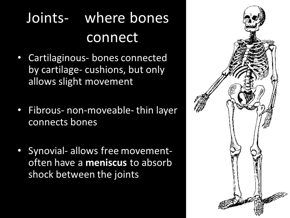 Joints- where bones connect Cartilaginous- bones connected by cartilage- cushions, but only allows slight movement Fibrous- non-moveable- thin layer connects bones Synovial- allows free movement- often have a meniscus to absorb shock between the joints