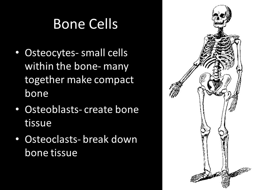 Bone Cells Osteocytes- small cells within the bone- many together make compact bone Osteoblasts- create bone tissue Osteoclasts- break down bone tissue