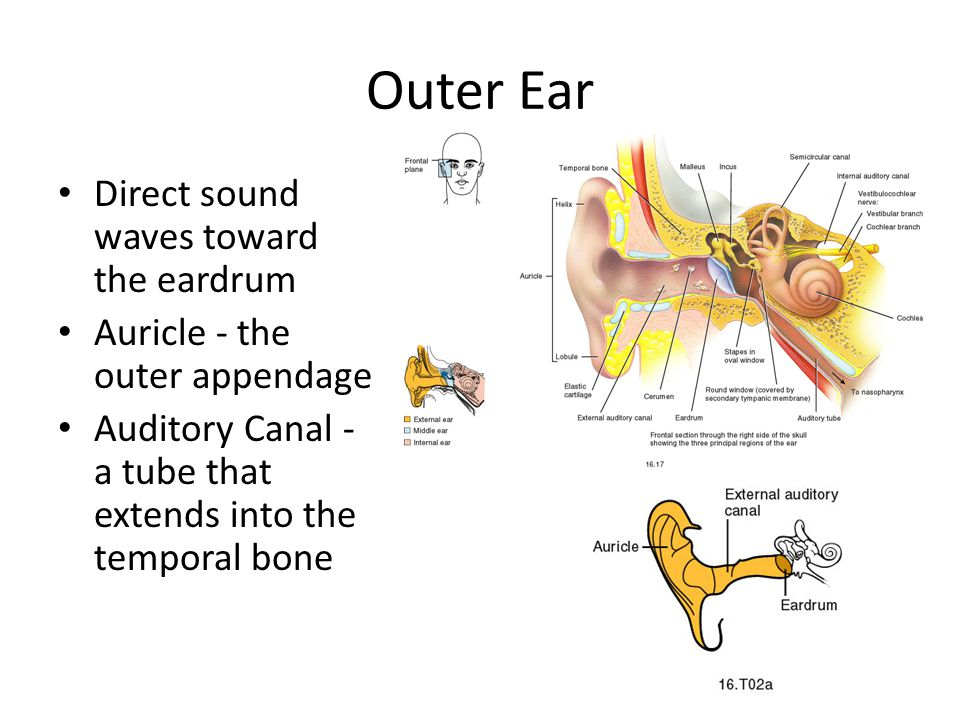 Outer Ear Direct sound waves toward the eardrum Auricle - the outer appendage Auditory Canal - a tube that extends into the temporal bone
