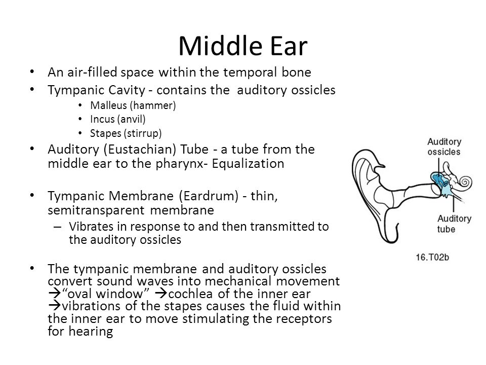 Middle Ear An air-filled space within the temporal bone Tympanic Cavity - contains the auditory ossicles Malleus (hammer) Incus (anvil) Stapes (stirrup) Auditory (Eustachian) Tube - a tube from the middle ear to the pharynx- Equalization Tympanic Membrane (Eardrum) - thin, semitransparent membrane – Vibrates in response to and then transmitted to the auditory ossicles The tympanic membrane and auditory ossicles convert sound waves into mechanical movement  oval window  cochlea of the inner ear  vibrations of the stapes causes the fluid within the inner ear to move stimulating the receptors for hearing