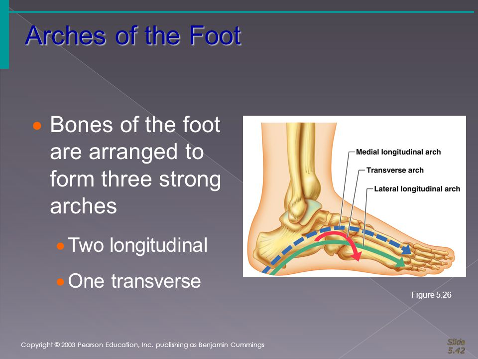 Arches of the Foot Copyright © 2003 Pearson Education, Inc. publishing as Benjamin Cummings  Bones of the foot are arranged to form three strong arch