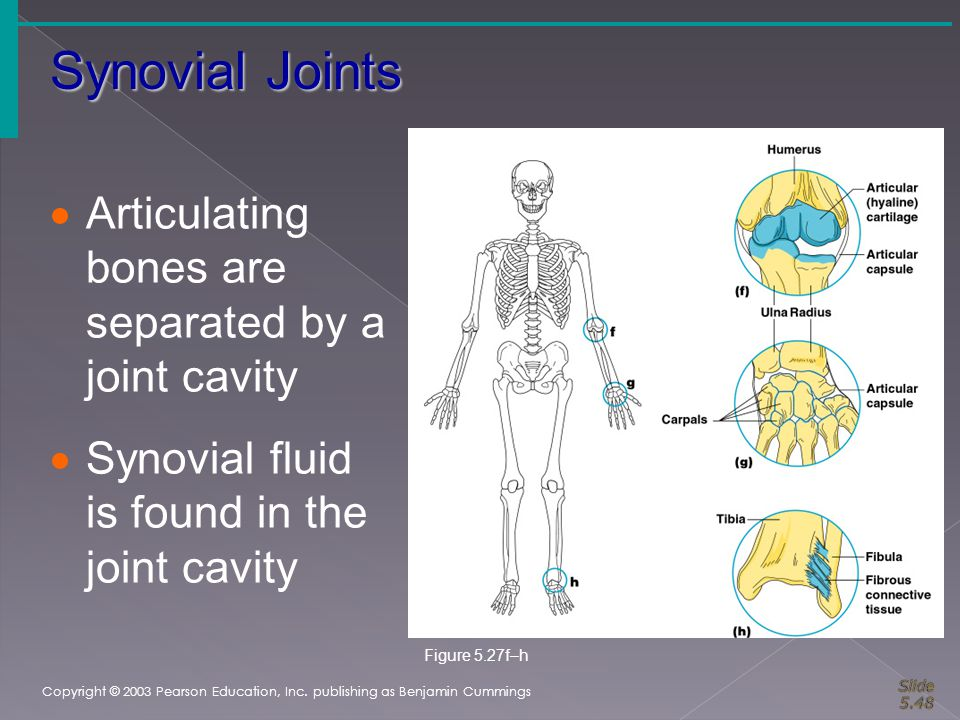 Synovial Joints Copyright © 2003 Pearson Education, Inc. publishing as Benjamin Cummings  Articulating bones are separated by a joint cavity  Synovi