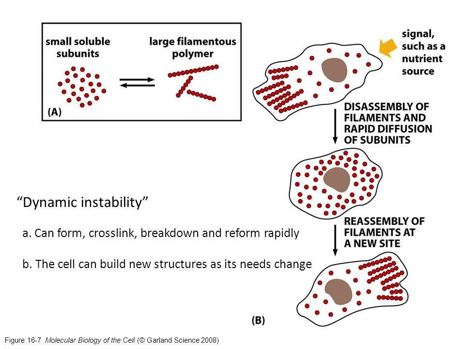 Figure 16-7 Molecular Biology of the Cell (© Garland Science 2008) Dynamic instability a.