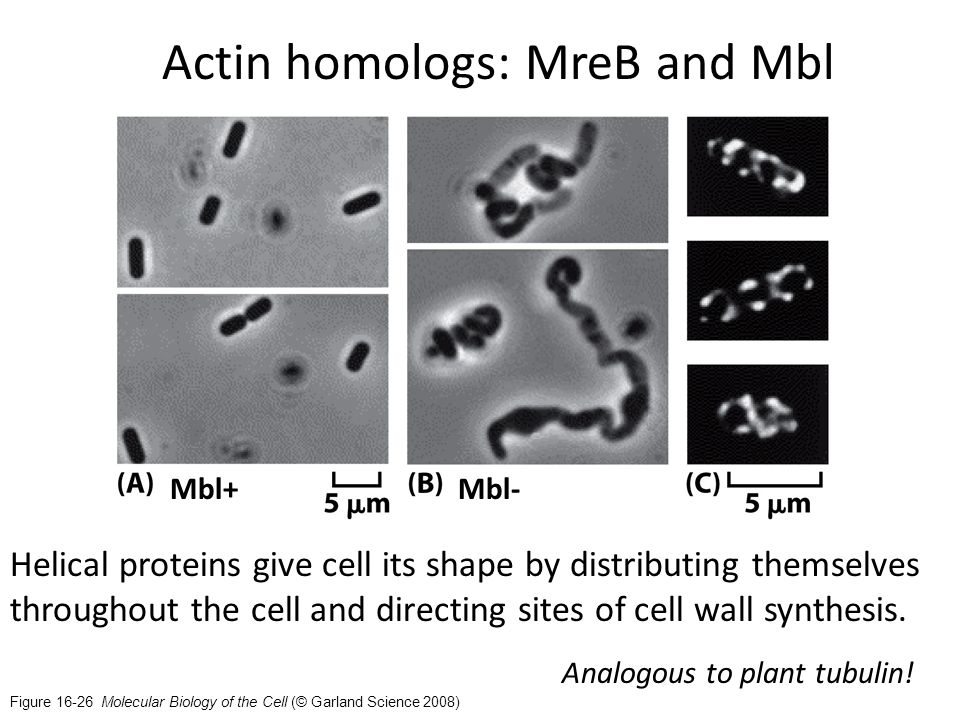 Figure 16-26 Molecular Biology of the Cell (© Garland Science 2008) Actin homologs: MreB and Mbl Helical proteins give cell its shape by distributing themselves throughout the cell and directing sites of cell wall synthesis.