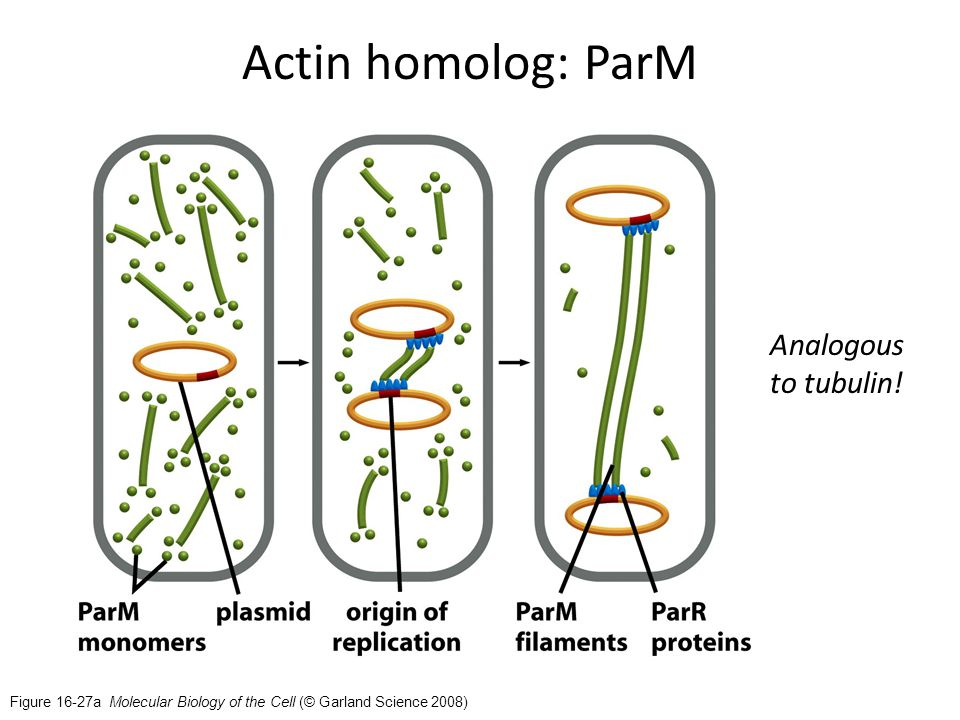 Figure 16-27a Molecular Biology of the Cell (© Garland Science 2008) Actin homolog: ParM Analogous to tubulin!