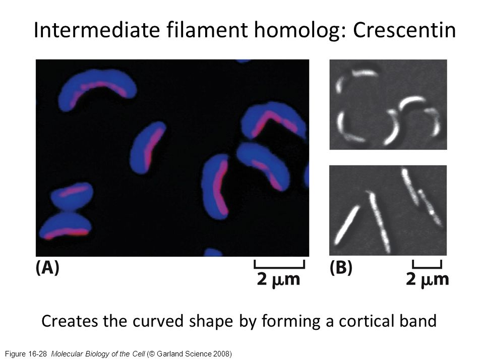 Figure 16-28 Molecular Biology of the Cell (© Garland Science 2008) Intermediate filament homolog: Crescentin Creates the curved shape by forming a cortical band