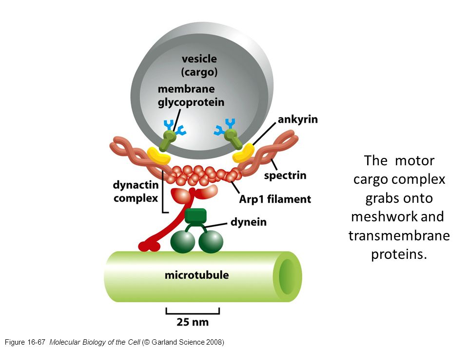 Figure 16-67 Molecular Biology of the Cell (© Garland Science 2008) The motor cargo complex grabs onto meshwork and transmembrane proteins.