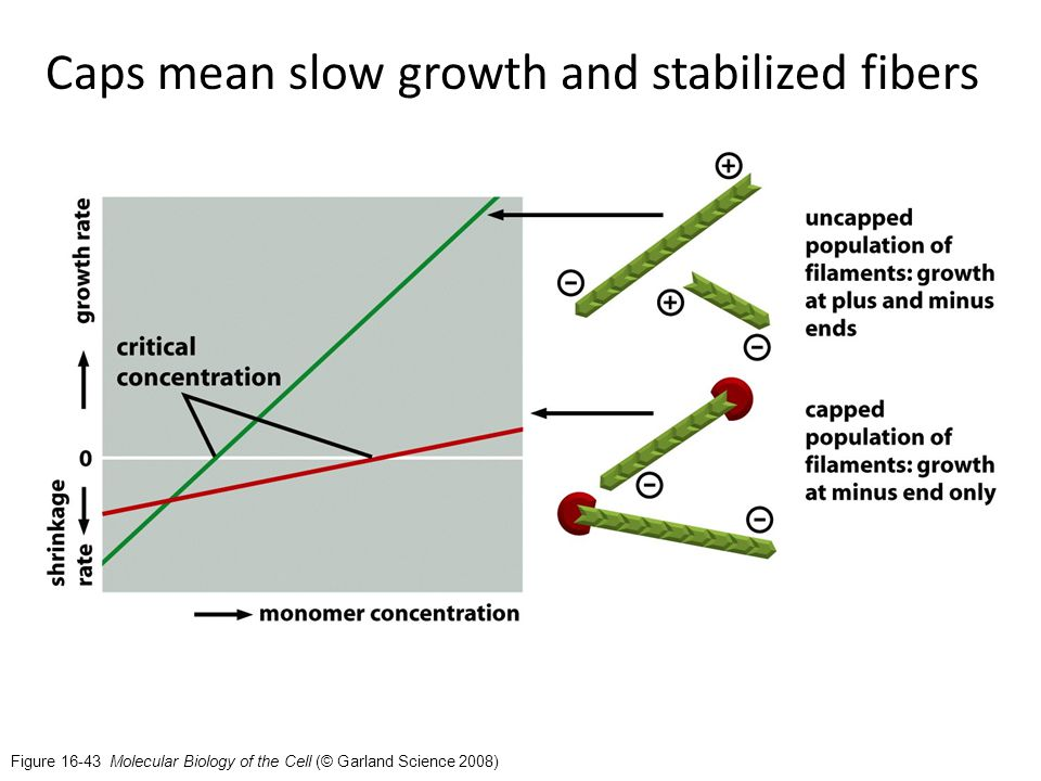 Figure 16-43 Molecular Biology of the Cell (© Garland Science 2008) Caps mean slow growth and stabilized fibers