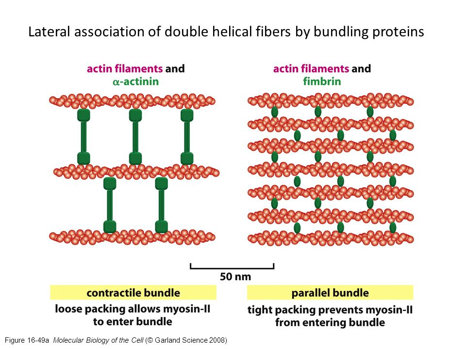 Figure 16-49a Molecular Biology of the Cell (© Garland Science 2008) Lateral association of double helical fibers by bundling proteins