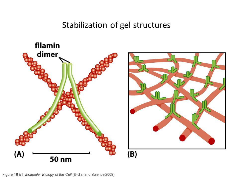 Figure 16-51 Molecular Biology of the Cell (© Garland Science 2008) Stabilization of gel structures