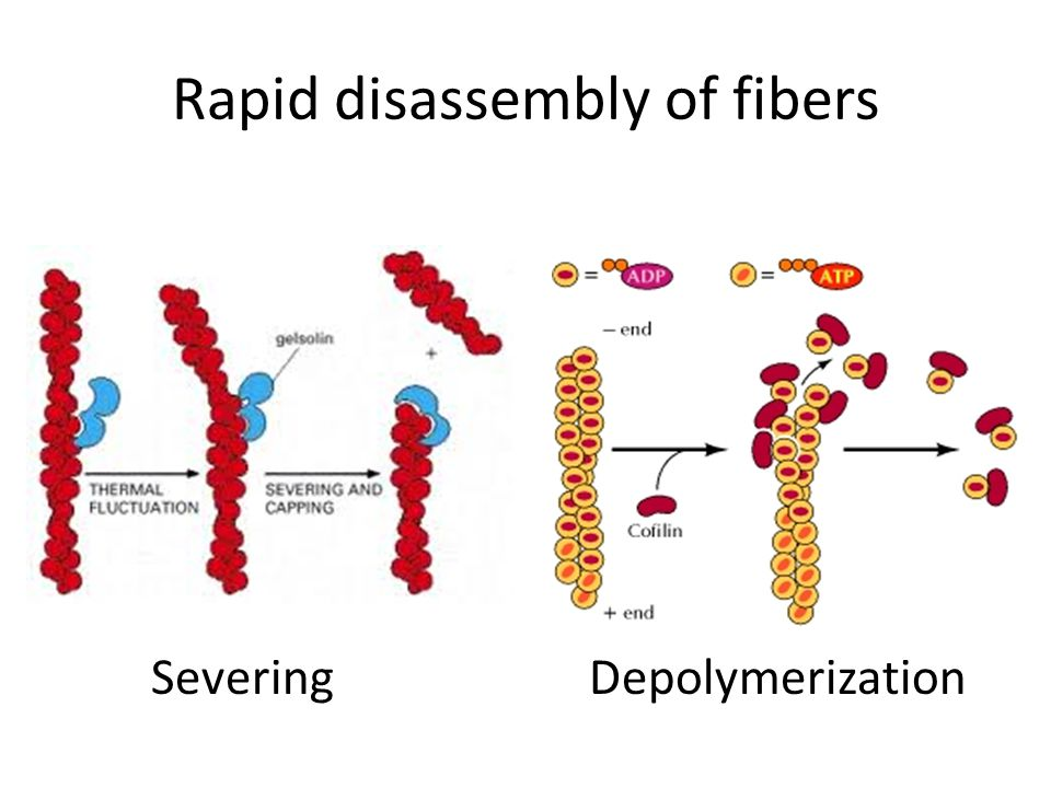 Rapid disassembly of fibers SeveringDepolymerization