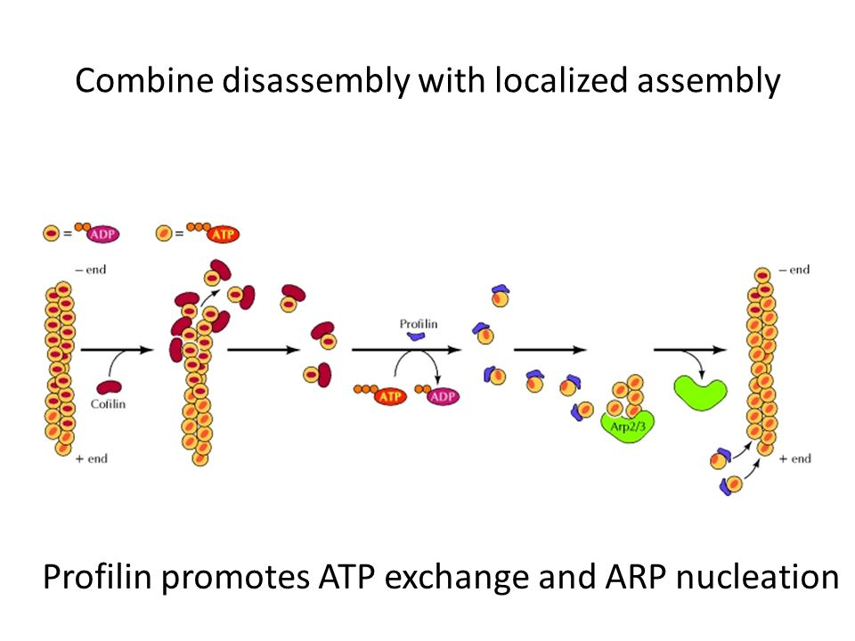 Combine disassembly with localized assembly Profilin promotes ATP exchange and ARP nucleation
