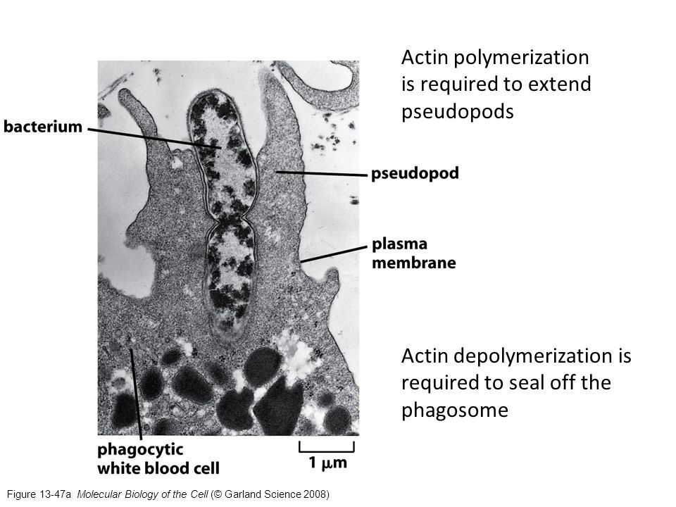 Figure 13-47a Molecular Biology of the Cell (© Garland Science 2008) Actin polymerization is required to extend pseudopods Actin depolymerization is required to seal off the phagosome