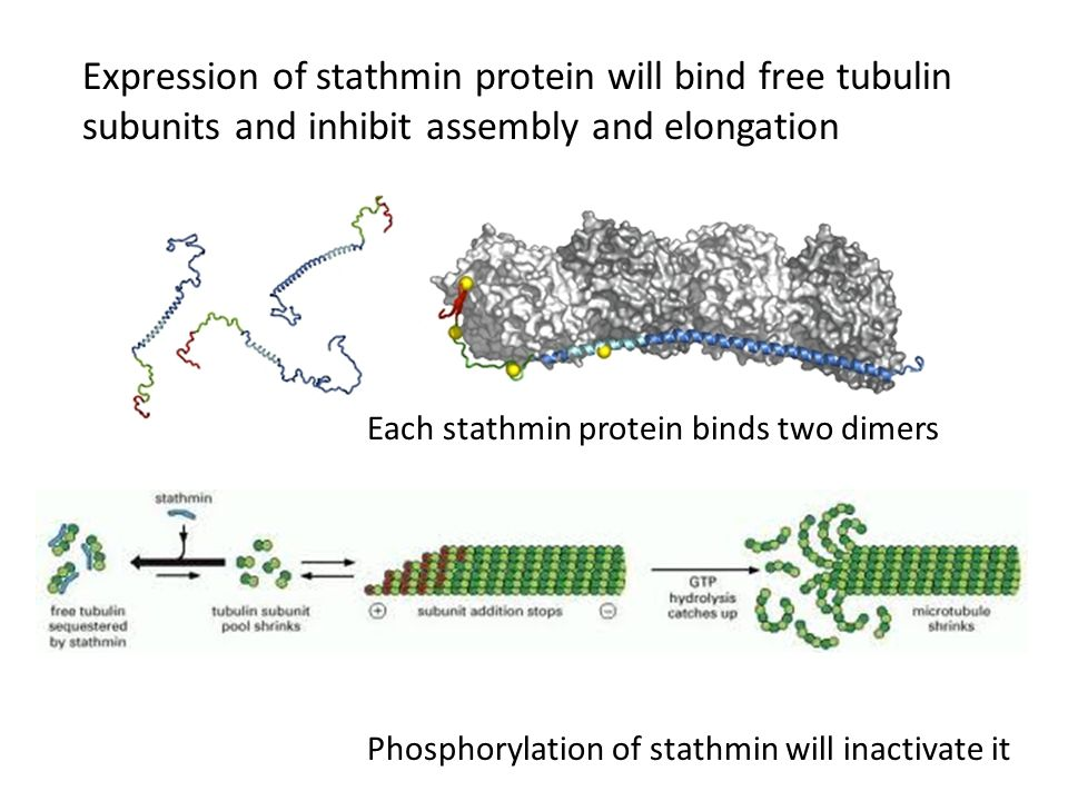 Expression of stathmin protein will bind free tubulin subunits and inhibit assembly and elongation Each stathmin protein binds two dimers Phosphorylation of stathmin will inactivate it