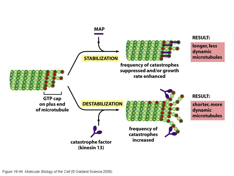 Figure 16-44 Molecular Biology of the Cell (© Garland Science 2008)