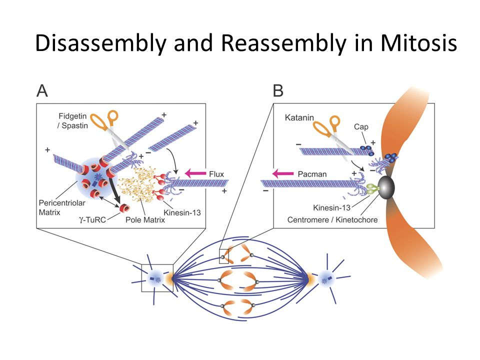 Disassembly and Reassembly in Mitosis