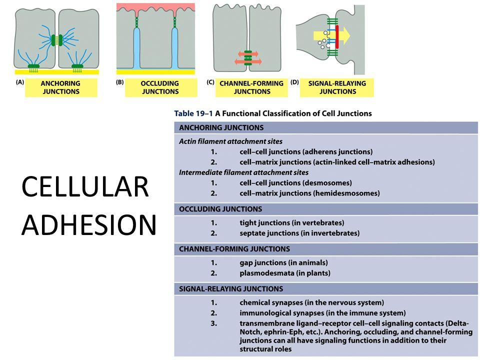 CELLULAR ADHESION