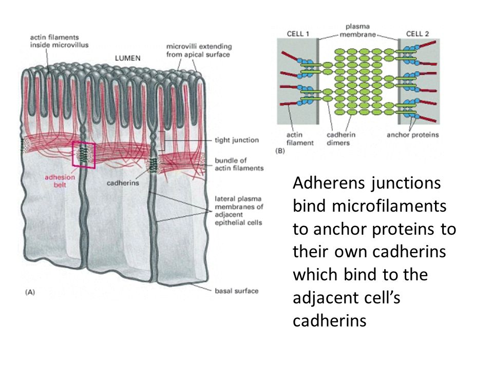 Adherens junctions bind microfilaments to anchor proteins to their own cadherins which bind to the adjacent cell's cadherins