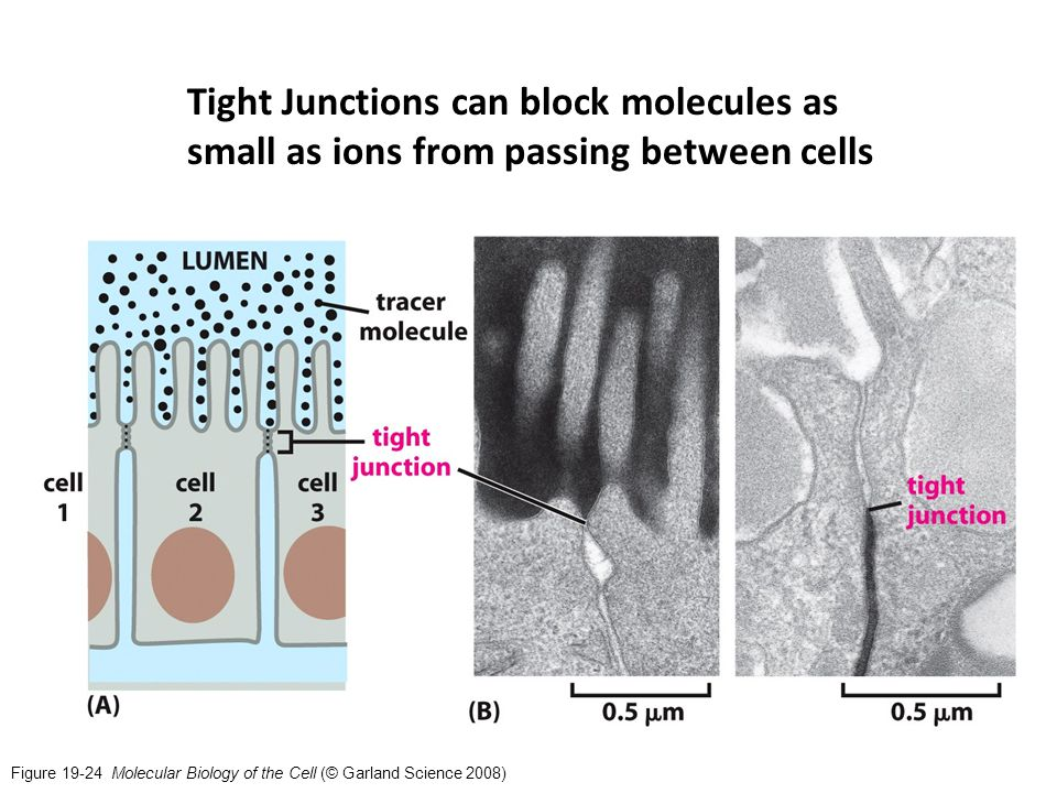 Figure 19-24 Molecular Biology of the Cell (© Garland Science 2008) Tight Junctions can block molecules as small as ions from passing between cells