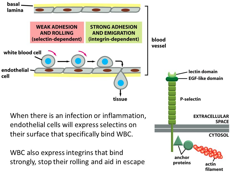 When there is an infection or inflammation, endothelial cells will express selectins on their surface that specifically bind WBC.