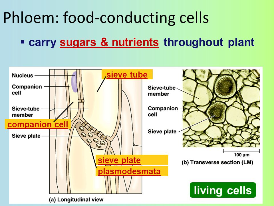 tracheids vessel elements Vascular tissue Aaaah… Structure–Function again.