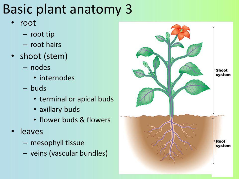 Modified shoots stolons (strawberries)rhizome (ginger) tuber (potato)bulb (onion)