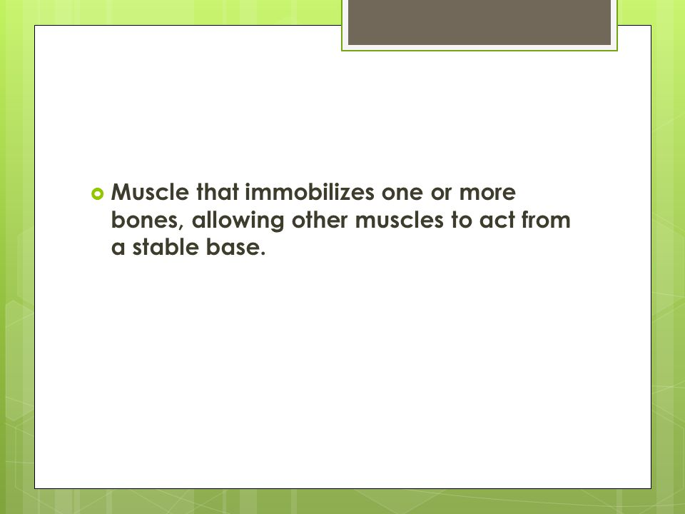  Muscle that immobilizes one or more bones, allowing other muscles to act from a stable base.