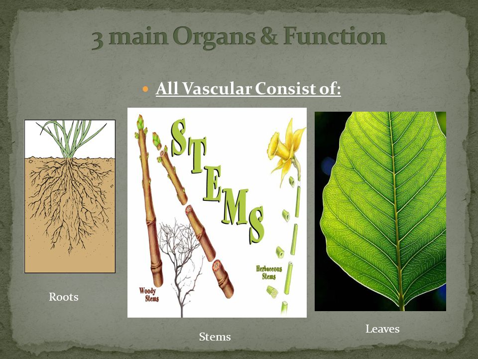 All Vascular Consist of: Roots Stems Leaves