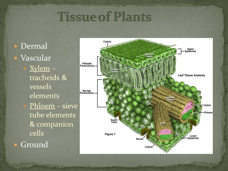 Dermal Vascular Xylem – tracheids & vessels elements Phloem – sieve tube elements & companion cells Ground