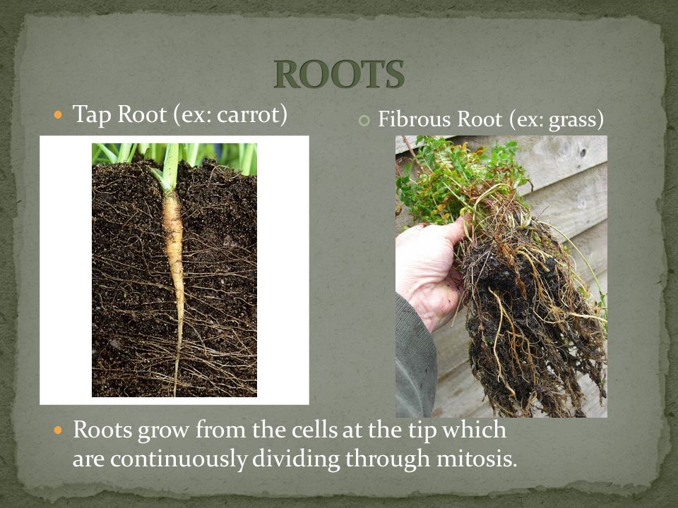 Tap Root (ex: carrot) Roots grow from the cells at the tip which are continuously dividing through mitosis.