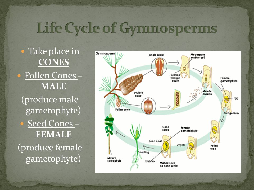 Take place in CONES Pollen Cones – MALE (produce male gametophyte) Seed Cones – FEMALE (produce female gametophyte)