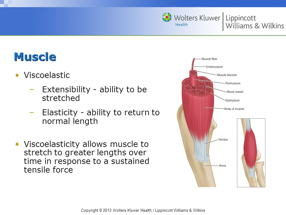 Copyright © 2013 Wolters Kluwer Health | Lippincott Williams & Wilkins Aponeuroses Attach muscle to other muscles or bone Dense connective tissue Stro