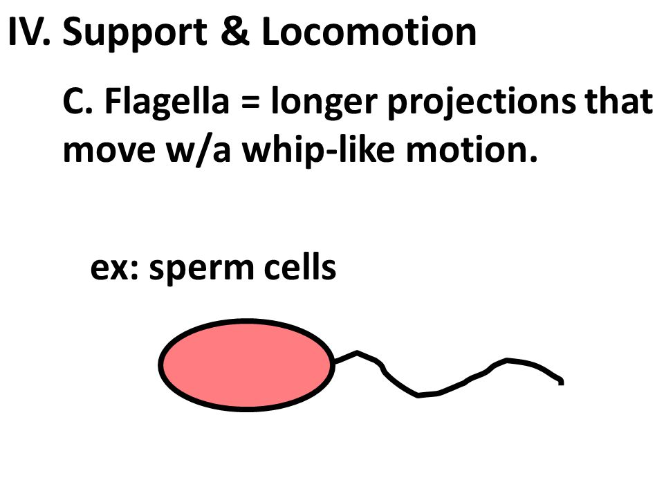 IV. Support & Locomotion B. Cilia = hairlike projections from the plasma membrane.