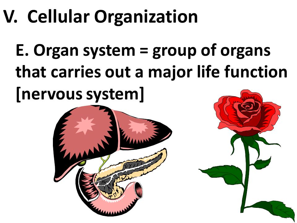 D. Organs = groups of tissues that function together [heart, liver, etc] V. Cellular Organization