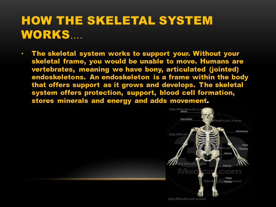 HOW THE SKELETAL SYSTEM WORKS …. The skeletal system works to support your.